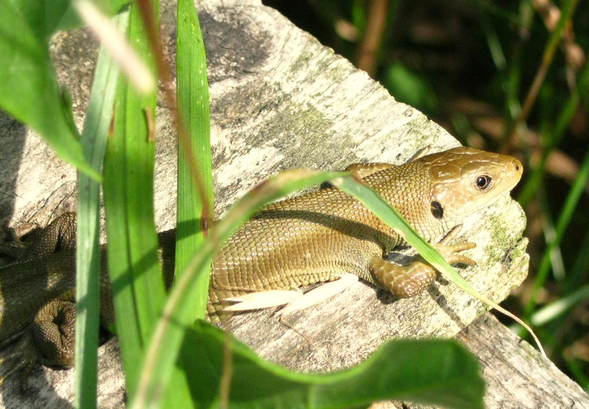 Common lizard (rare plain colour variation)