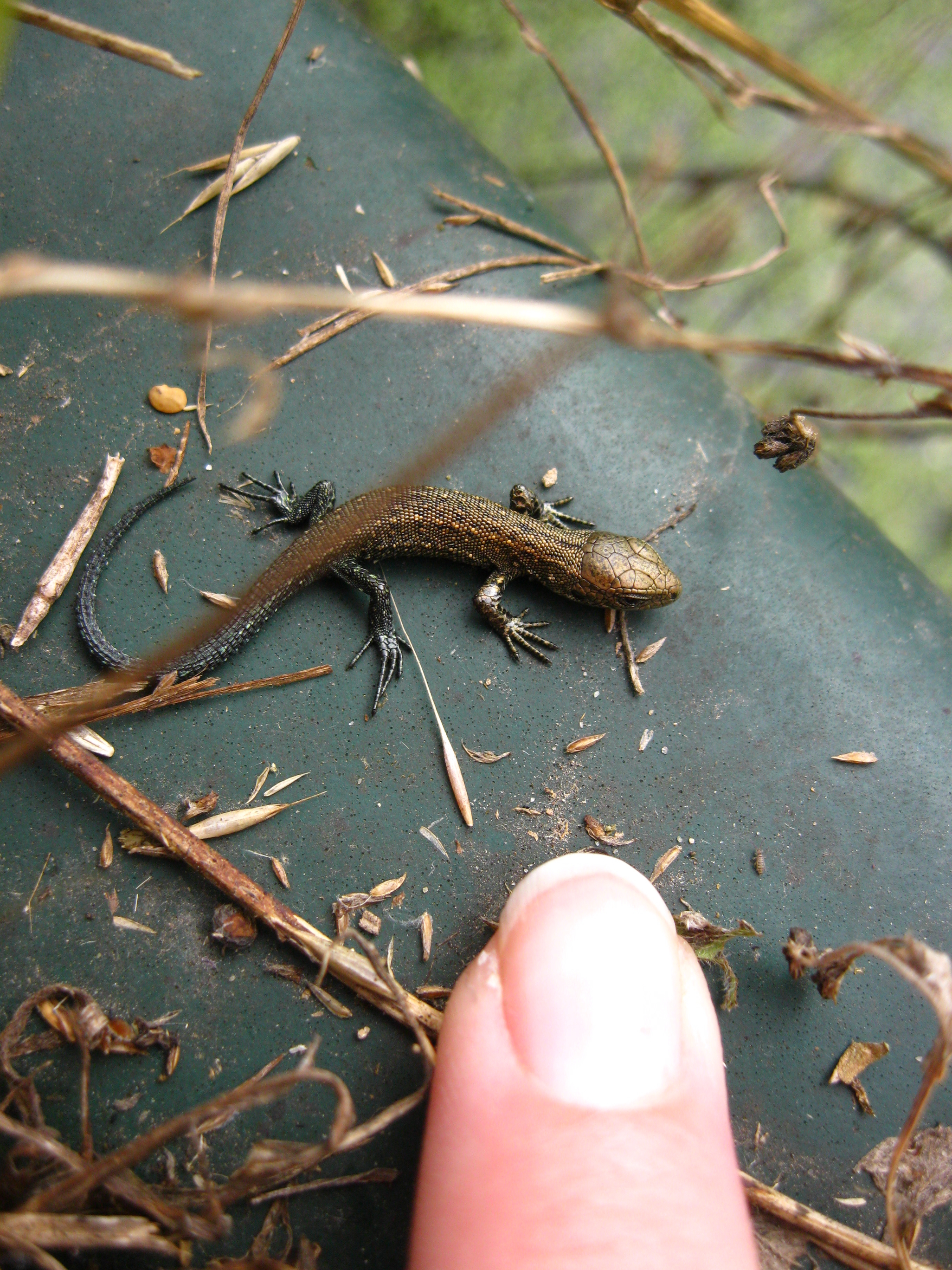Baby common lizard