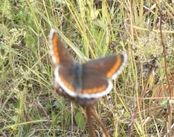 Brown Argus (female) 29 July 2015