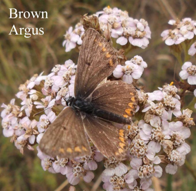brown-argus