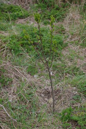 Newly planted spindle tree