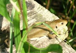 Rare plain morph common lizard