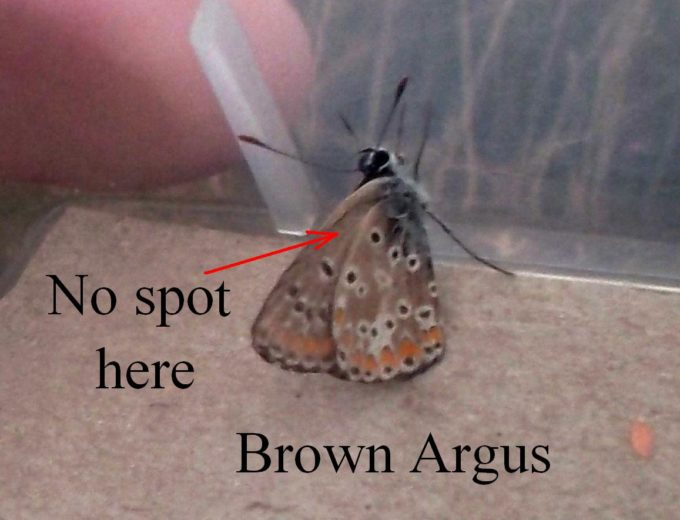 brown-argus-underside