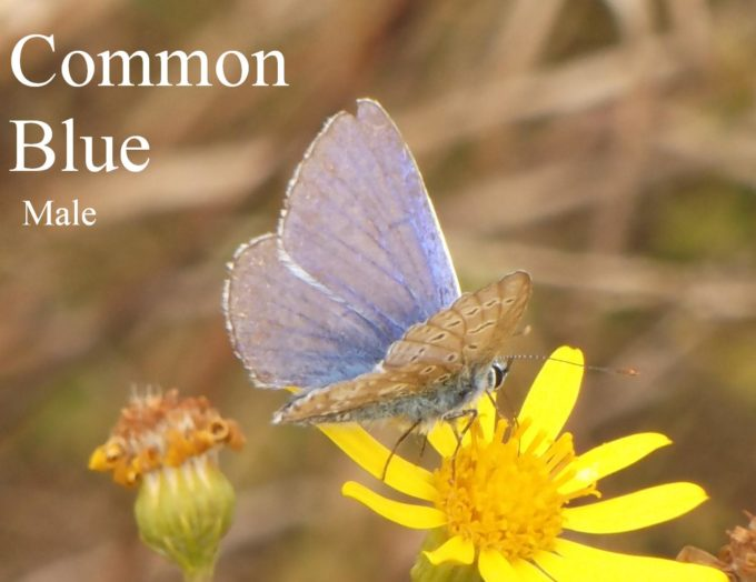 common-blue