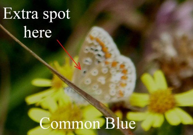 common-blue-underside-bletchley-buckinghamshire