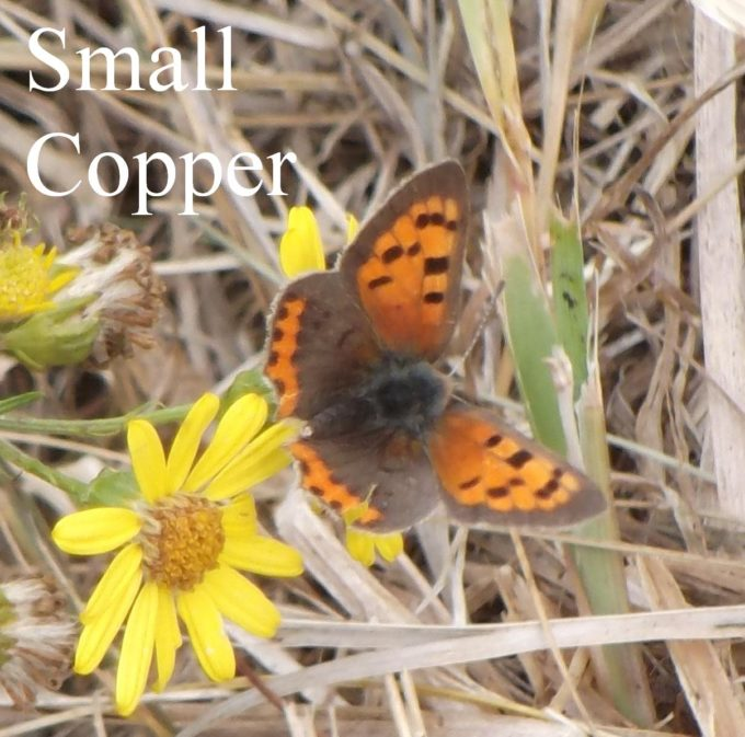 small-copper-1